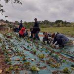 Vaxergues - plantation fraisiers